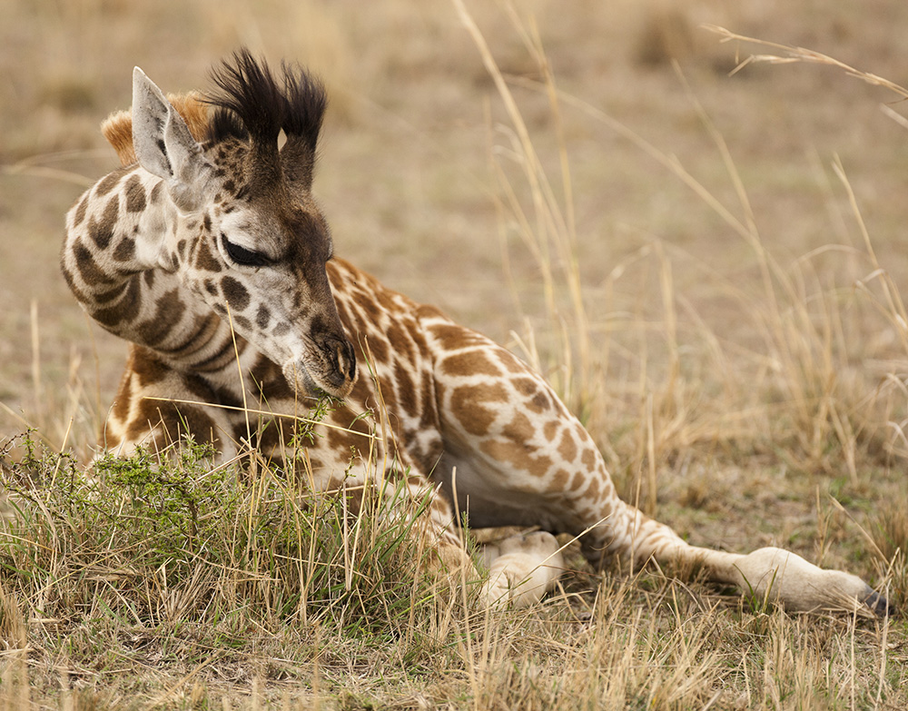 Giraffes naturally stay awake longer than any other mammal.